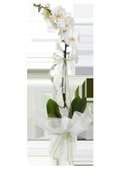 bursa-tekli-orkide-siparisi.png